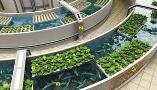 http://www.ambyaberbagi.com/2015/12/efektif-memelihara-ikan-lele-untuk-aquaponik.html