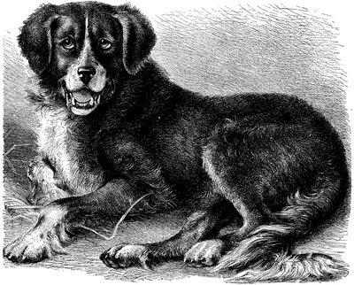 bouvier bernois, chien, dessin