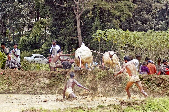 The most famous traditional game involving bulls is Spanish bullfighting, but the people of Kerala, India, have come up with a way celebration that doesn't involve torturing and killing poor animals. It's called Maramadi, and it's held every year, in the post-harvest season.