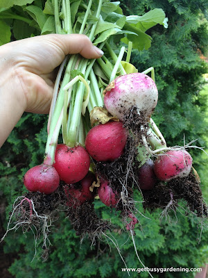 Radishes grown in part shade