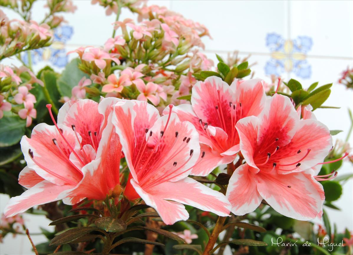mayo mes de las flores - azaleas