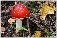 Amanita