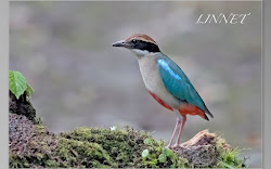 台湾の野鳥(Taiwan Birds)