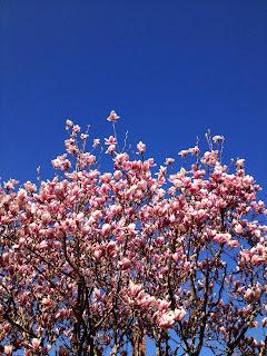 blue sky, blossoms, spring, magnolia, flowers