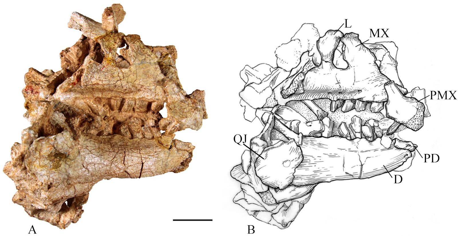 [Image: Convolosaurus_marri-novataxa_2019-Andrze...obs-vi.PNG]