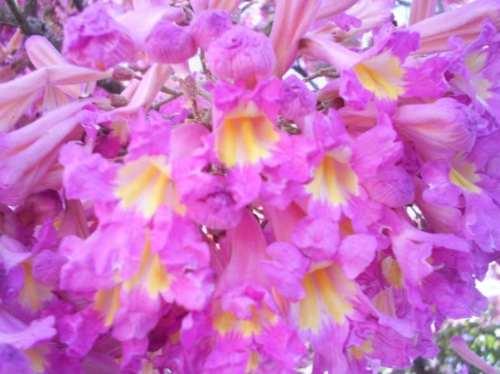 Como Plantar Sementes de Ipês Rosa,Roxo,Amarelo,Etc. S_MLB_v_O_f_200892482_2343
