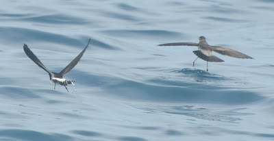 New Zealand Storm Petrel (Oceanites maorianus) and White-faced Storm Petrel (Pelagodroma marina)