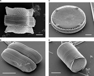 Morfologi diatom