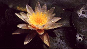 Water Lily - The National flower of Bangladesh