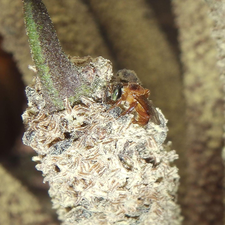 Tetragonula melanocephala