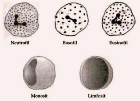 Pengertian Leukosit dan Fungsi Leukosit