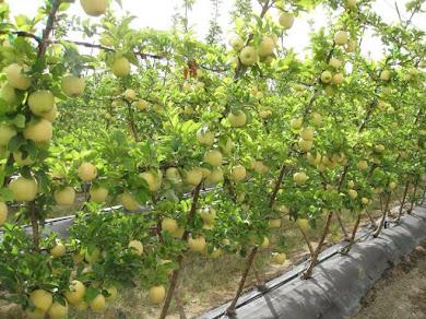 bodur meyve fidanları