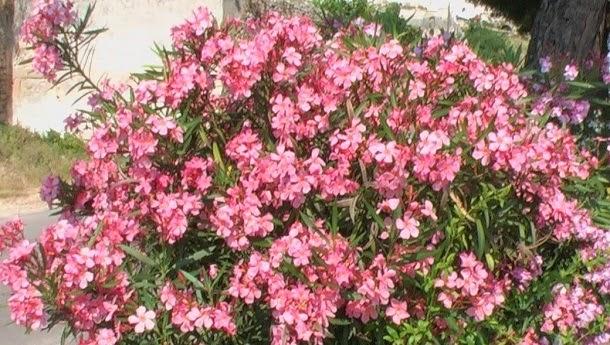 Nerium oleander (oleandro)