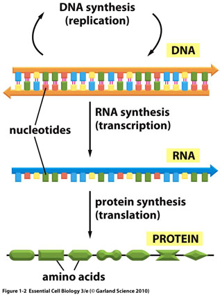 dna makes rna makes protein essay Dna rna and protein synthesis essaybuy essay priceonline language arts homework helperessays writing servicecustom paper writing service.