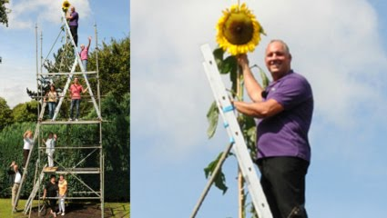 """The world-tallest """"Sun-Flower"""" <br>(over 9 meter high!) in Germany"""
