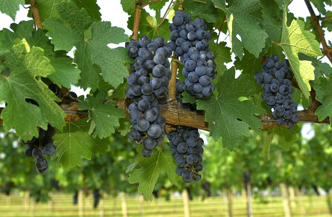 how to cut grape vines to get rid of them