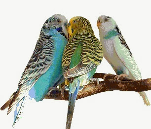 عصافير بادجى استرالى