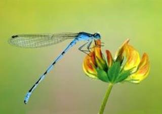 libélula y flor