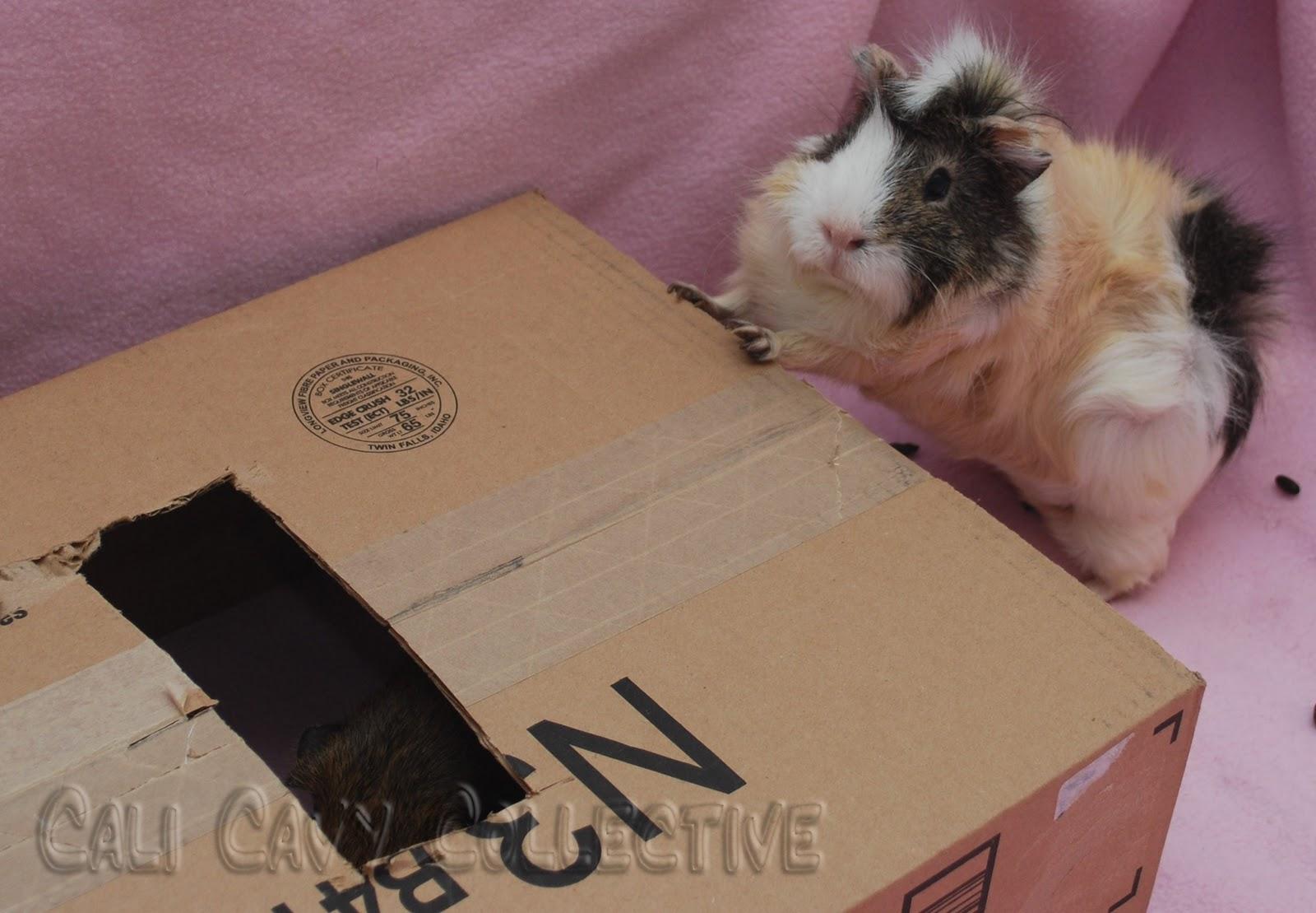 ... all things guinea pig: DIY guinea pig toy: cardboard box hideaway