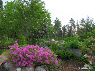 Vårazalea Rhododendron canadense