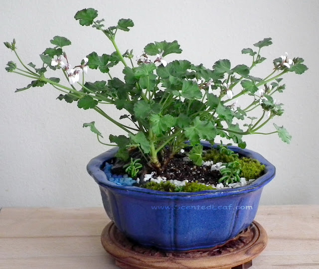 Miniature garden with Apple-Nutmeg pelargonium in bloom