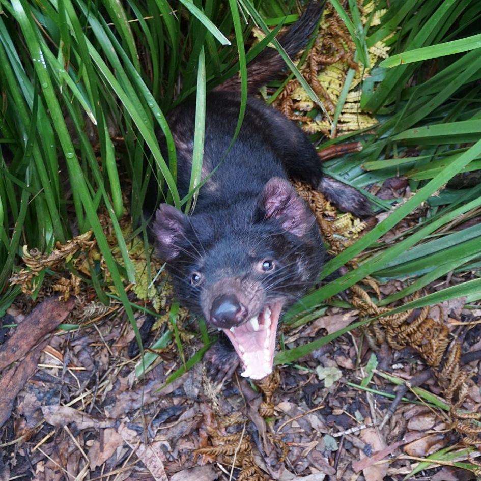 Tazmanian Devil, Australia