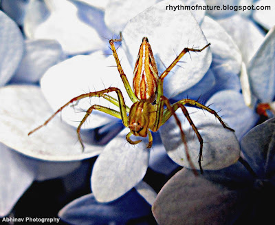 Spider on a Hydrangea Flower