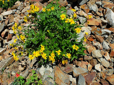 Arnica lanceolata (Clasping Arnica)