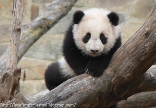 Nice panda bear.