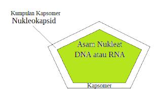 Nukleokapsid
