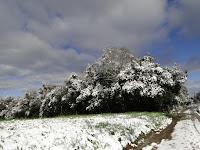 Com o peso do gelo acumulado as árvores nativas penderam na borda da RPPN das Araucárias Gigantes, em Itaiópolis - Santa Catarina - Foto: Elcio Glovacki. 23/07/2013