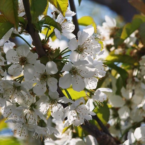 Hvide blomster i massevis på kirsebærtræet