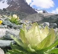 khasiat manfaat bunga teratai salju kecantikan kesehatan pengobatan