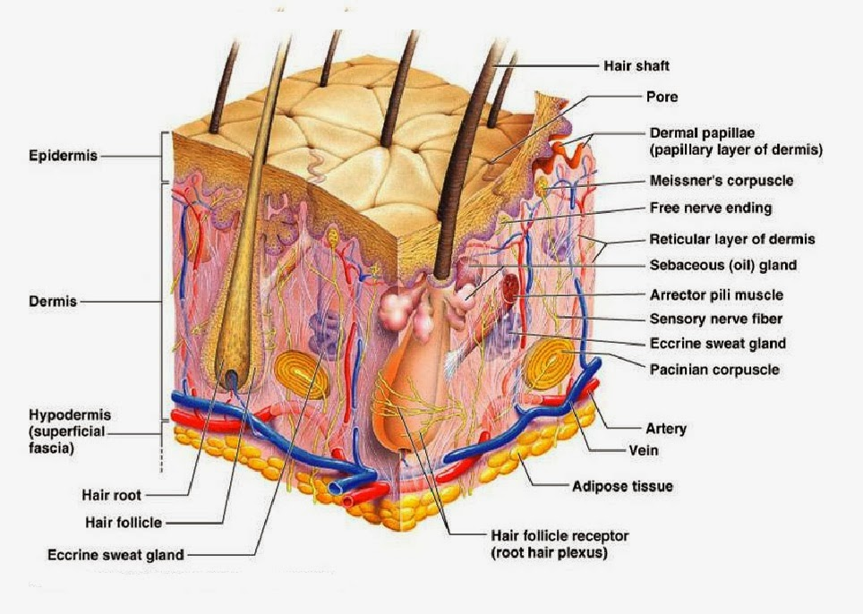 Worksheets Skin Diagram To Label detailed skin diagram anatomy picture reference and health news are the bodys largest organ covering entire body in addition to serving as a protective shield agains