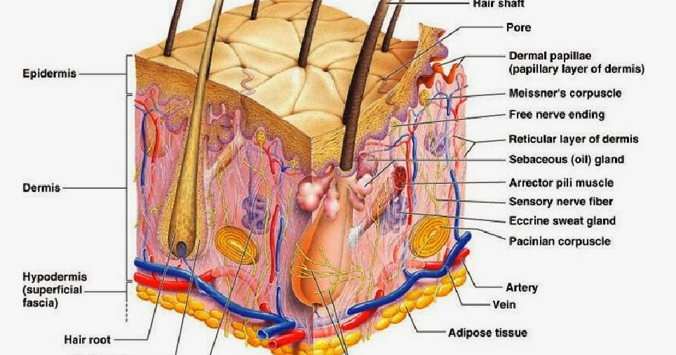 Worksheets Skin Structure Diagram To Label detailed skin diagram anatomy picture reference and health news