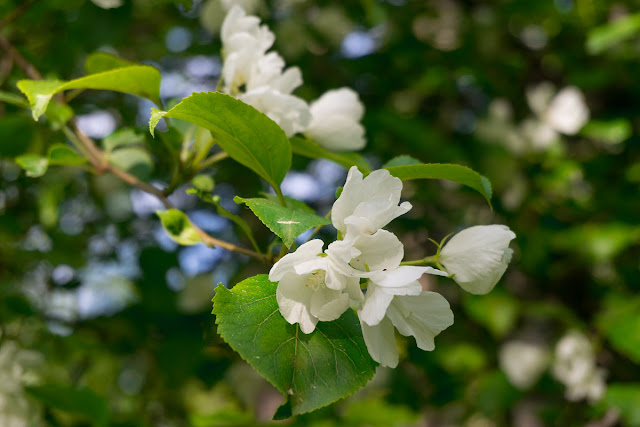 Яблоня цветёт.