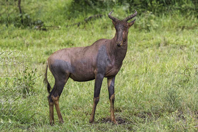 Standing Tsessebe Antelope image