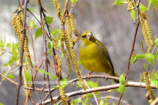 Greenfinch mail in breeding plumage - Carduelis chloris