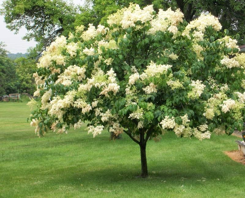 arte y jardiner a lilas syringa vulgaris