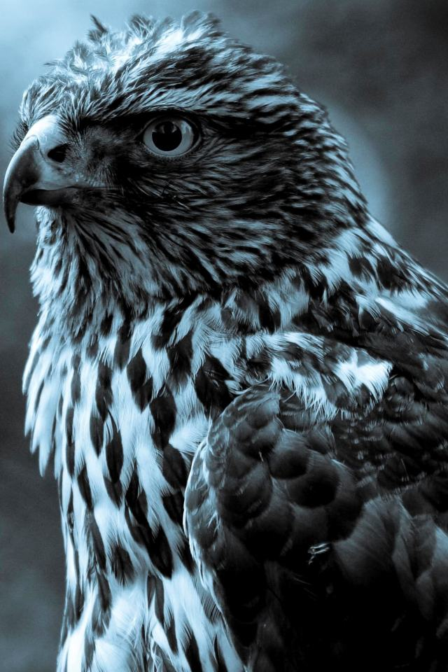 HD Black And White Eagle Wallpapers For IPhone 4