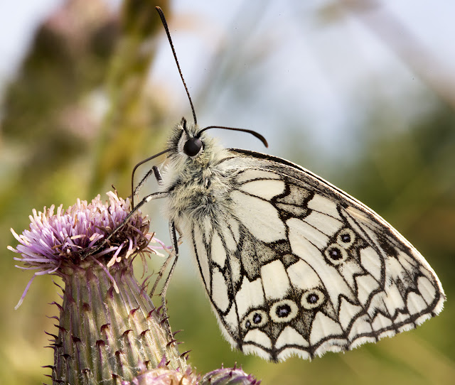 Marbled White, Melanargia galathea.  Sandwich Bay, 3 June 2015.
