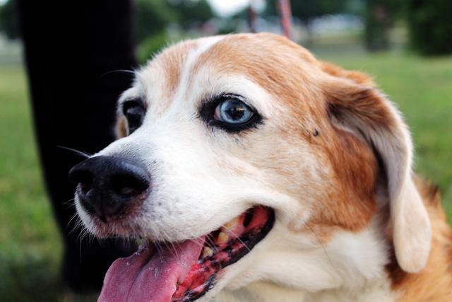 Cachorros com heterocromia ocular