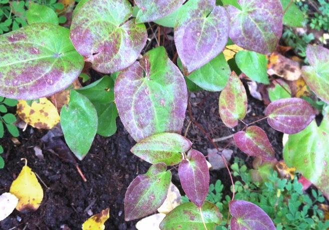 Rödbrokiga blad av blekgul sockblomma.