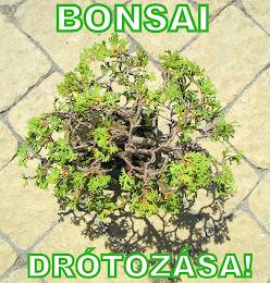 BONSAI DRÓTOZÁSA - KATT A KÉPRE!