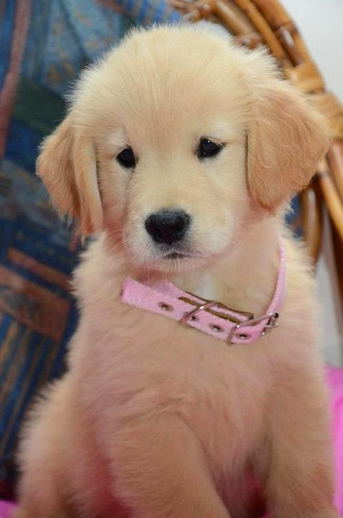 See more golden retriever puppy http://cutepuppyanddog.blogspot.com/
