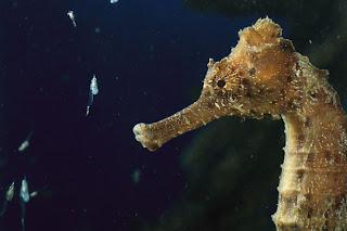 13 Fakta Menarik Tentang Kuda Laut