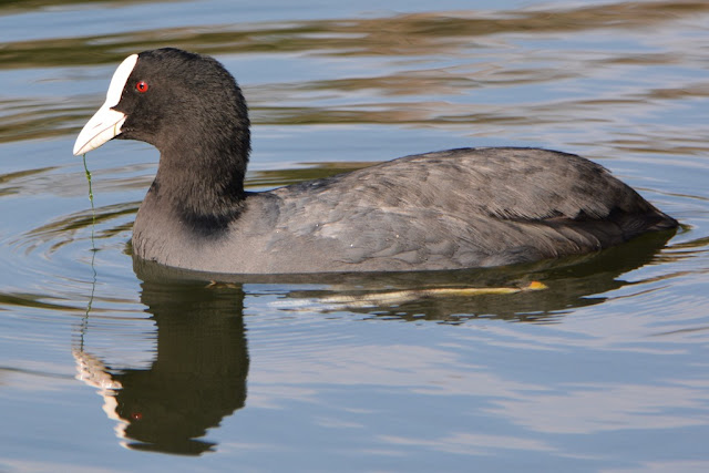 Coot in lake