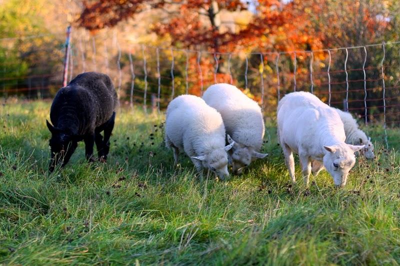 Icelandic ewes and lambs grazing at Litengård Little Farm