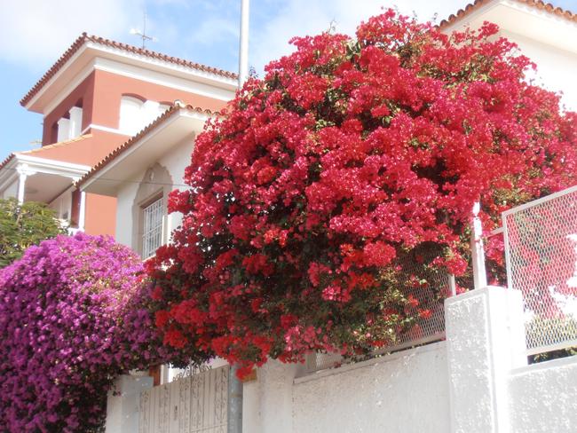 Paseando por mi ciudad buganvillas explosi n de colores - Fotos de buganvillas ...