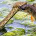 Cobra engole peixe em ataque certeiro .Veja as fotos Incrível !!